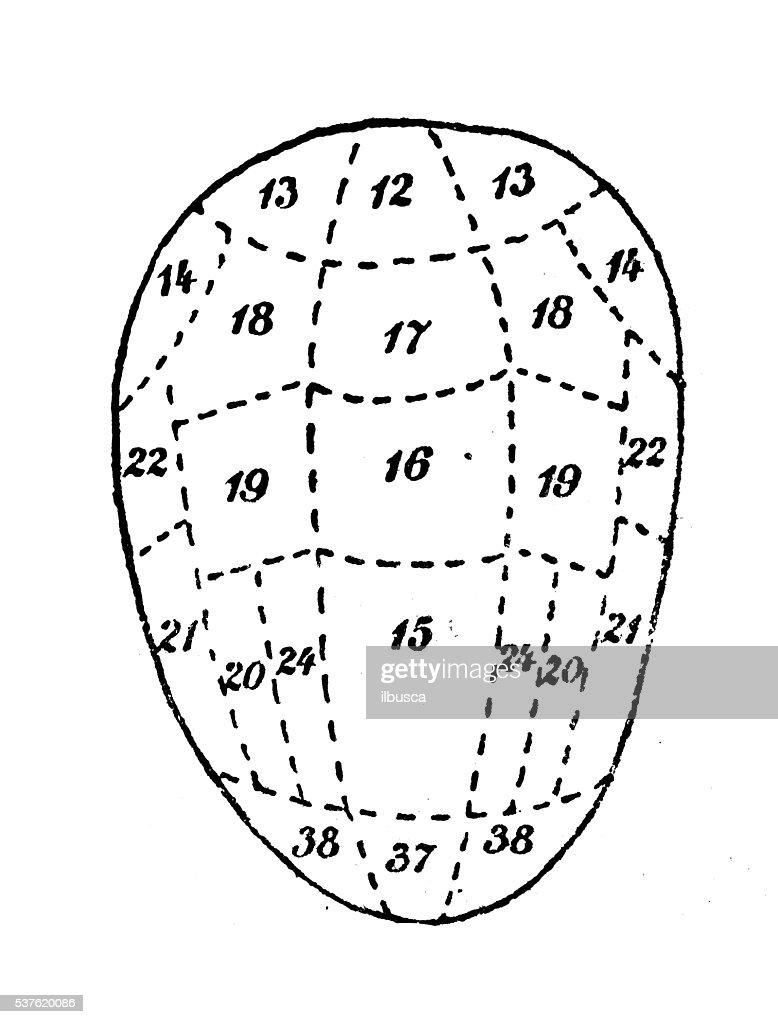 human head skull phrenology study stock illustration