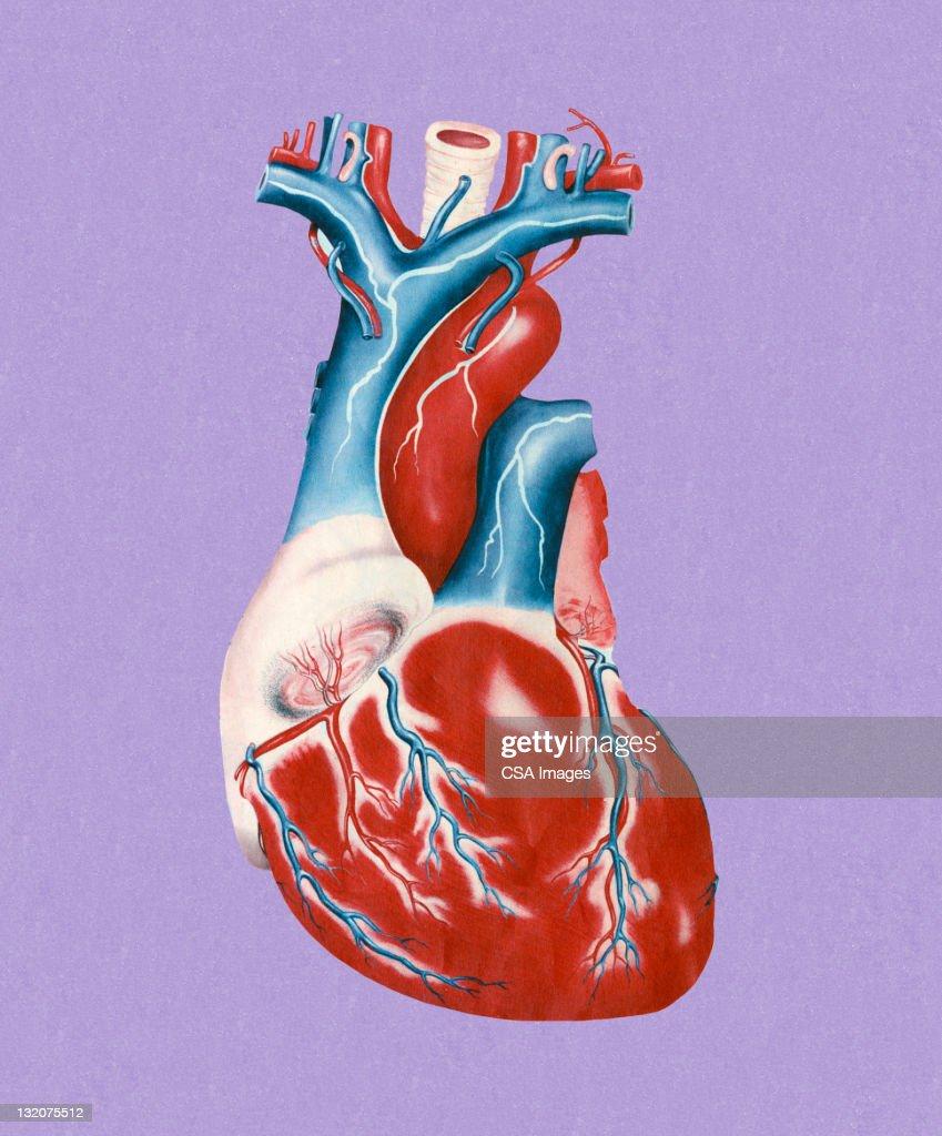 Human Heart : Stock Illustration