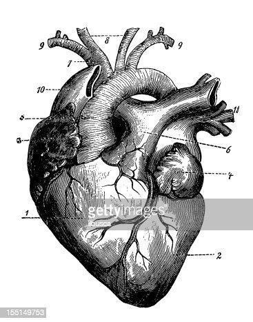 Coração Humano Ilustração de stock | Getty Images