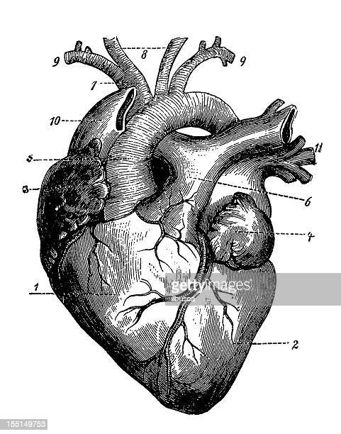human heart stock illustrations and cartoons | getty images, Human Body