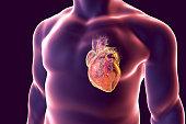 Human heart with heart vessles inside human body, 3D illustration