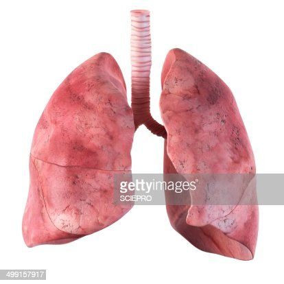 human lungs artwork stock illustration | getty images, Cephalic Vein