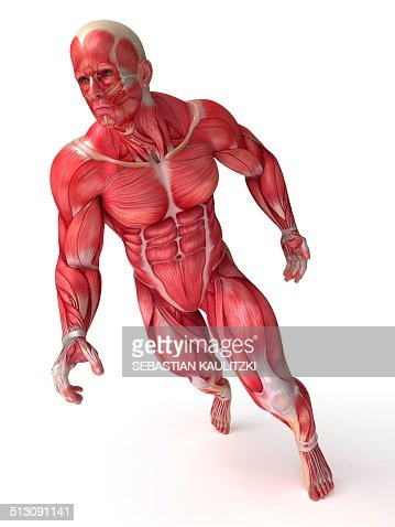 human muscular system artwork stock illustration | getty images, Muscles
