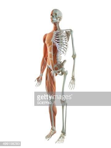 human musculoskeletal system artwork stock illustration | getty images, Muscles