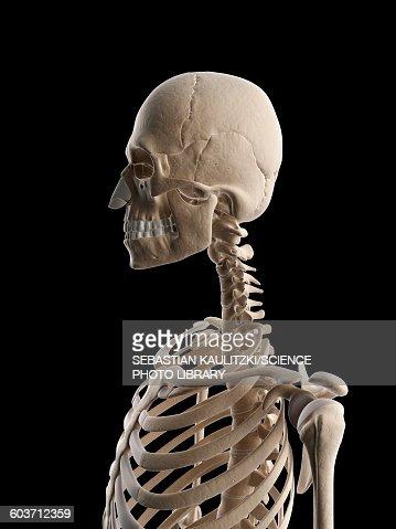 human neck bones illustration stock illustration | getty images, Skeleton
