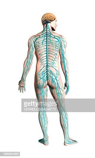 Human nervous system, artwork : Stock Illustration