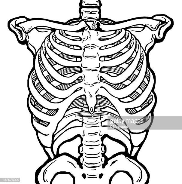 rib cage stock illustrations and cartoons | getty images, Skeleton