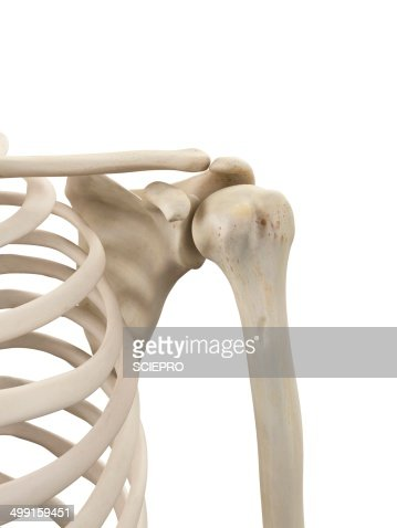 human shoulder bones artwork stock illustration | getty images, Cephalic Vein