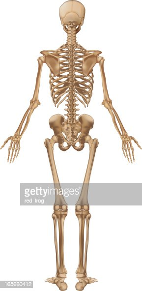 human skeleton back view vector art | getty images, Skeleton