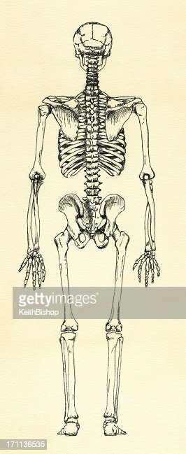 human skeleton back view stock illustration | getty images, Skeleton