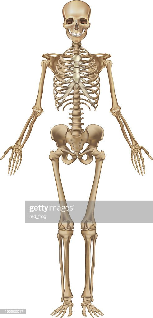 human skeleton front view vector art | getty images, Skeleton