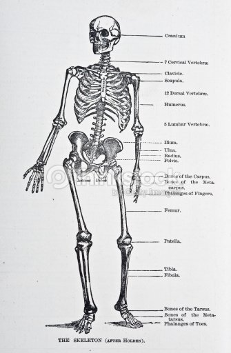 Menschliches Skelett Stock-Illustration | Thinkstock