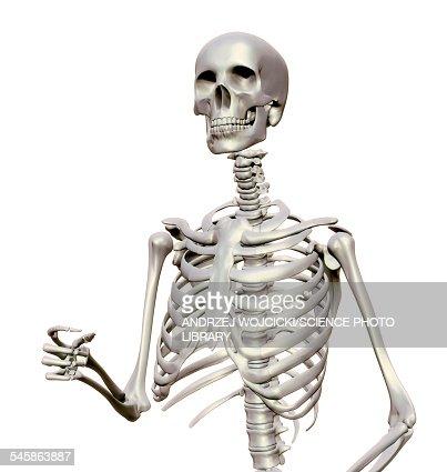 human skeleton illustration stock illustration | getty images, Skeleton
