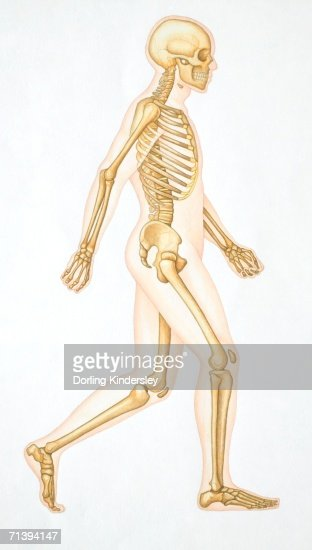 human skeleton showing all the joints in walking position stock, Skeleton