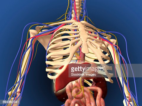 Human skeleton nerves kefei04 rear view of human skeleton showing kidney and nervous system skeleton ccuart Image collections