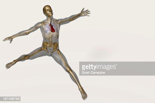 Human skeleton stretching : Stock Illustration