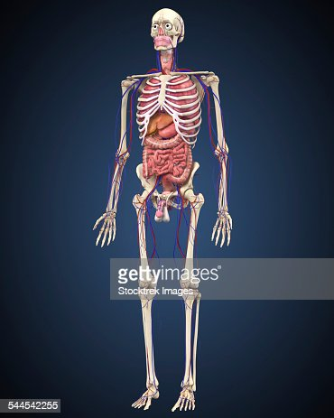 male skeleton with internal organs on blue background stock, Skeleton