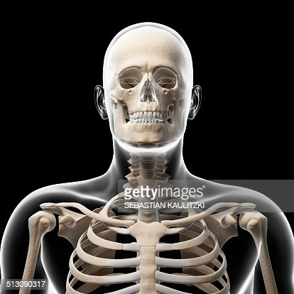 human skull and neck bones artwork stock illustration | getty images, Skeleton