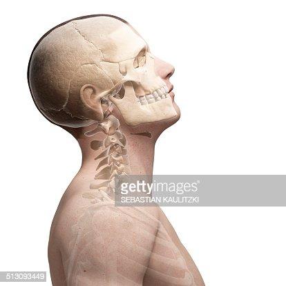 human neck bones artwork stock illustration | getty images, Skeleton