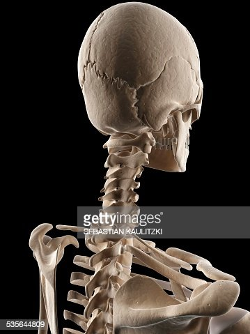 human skull and neck bones illustration stock illustration | getty, Skeleton
