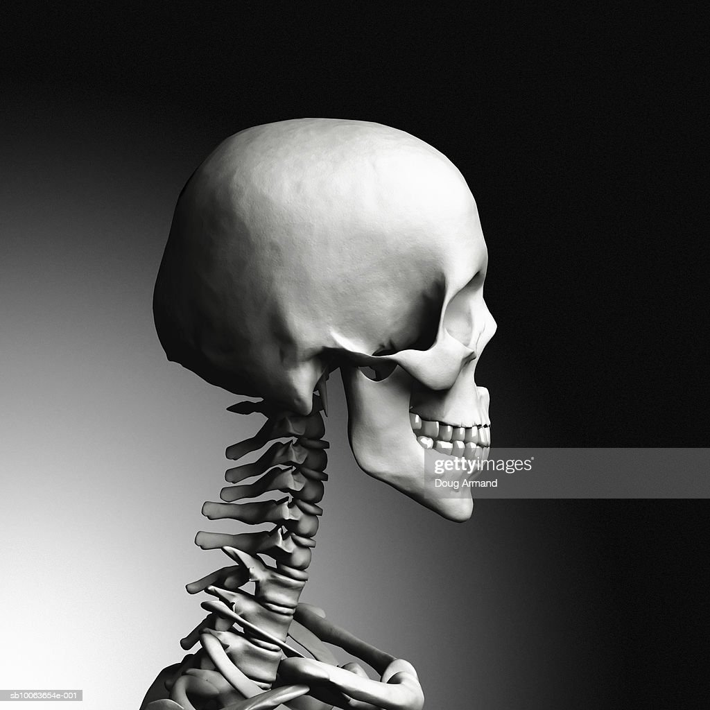 Human Skull And Neck Bones Side View Stock Illustration ...