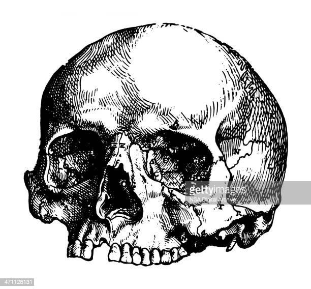 Cráneo humano/antigüedades ilustración médica