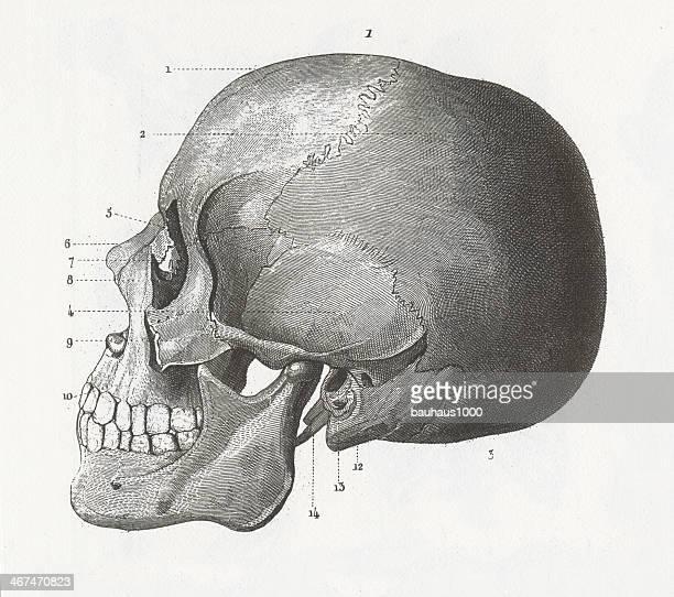 Crâne humain Gravure