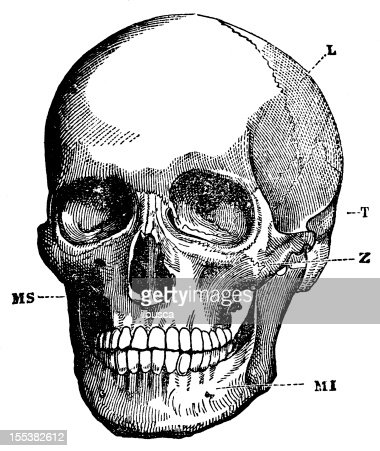 Human Skull Stock Illustration | Getty Images
