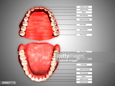 human teeth structure with labels stock illustration | getty images, Human Body