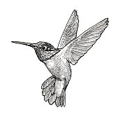 Pen and ink drawing of a Hummingbird by Craig Gosling in 1976 in his Indianapolis, Indiana home studio.