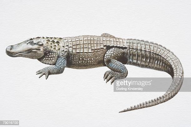 Illustration, American Alligator (Alligator mississippiensis) with slit-like eyes, side view.