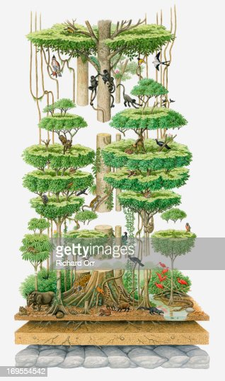 Illustration, cross-section diagram of lower part of rainforest showing variety of wildlife : Stock Illustration