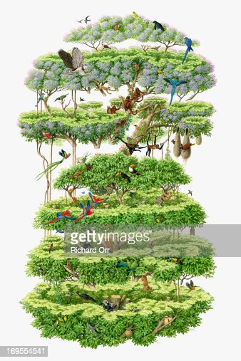 Illustration, cross-section of rainforest canopy showing variety of wildlife : ストックイラストレーション