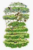 Illustration, cross-section of rainforest canopy showing variety of wildlife