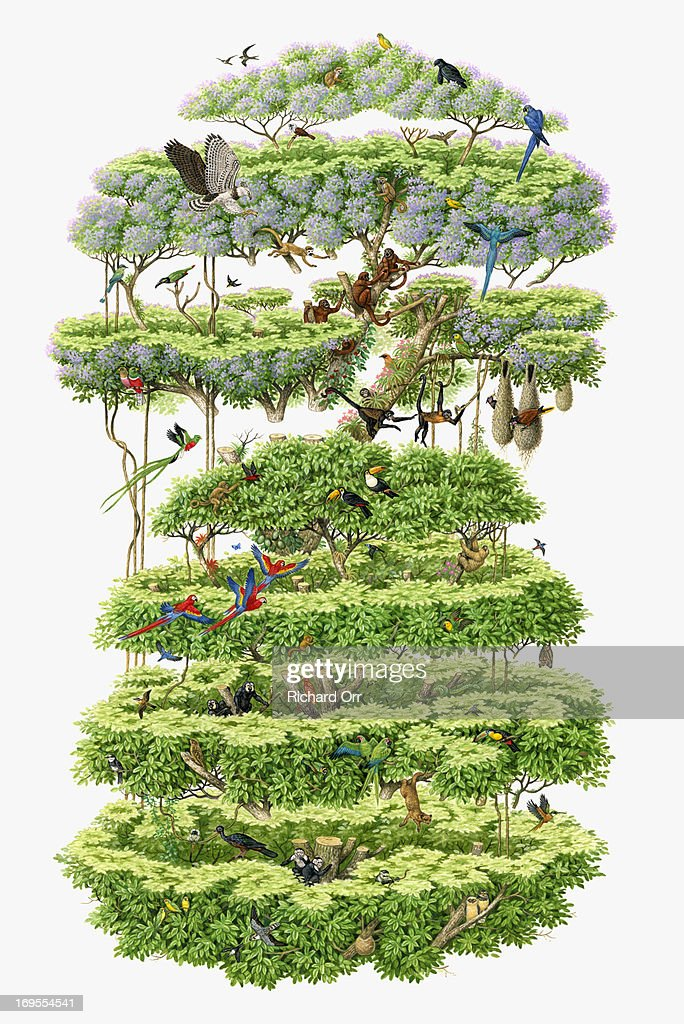 Illustration cross-section of rainforest canopy showing variety of wildlife  Stock Illustration  sc 1 st  Thinkstock & Illustration Crosssection Of Rainforest Canopy Showing Variety Of ...