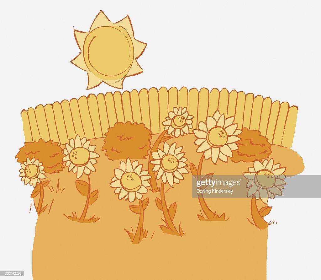 Illustration in shades of yellow, seven sunflowers and three bushes, fence in background, sun shining overhead. : Stock Illustration