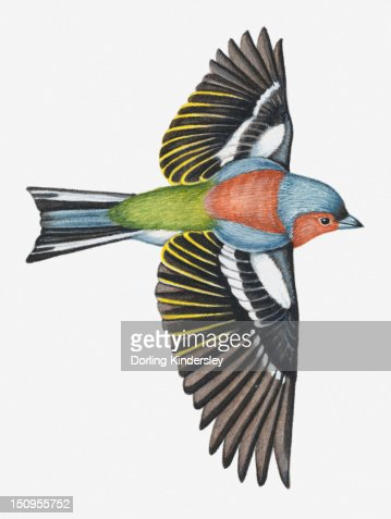 Illustration of a Chaffinch (Fringilla coelebs) in flight : Stock Illustration