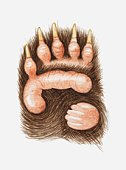 Illustration of a panda bear's paw