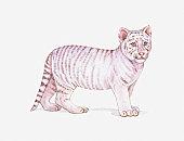Illustration of a White tiger cub (Panthera tigris)
