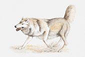 Illustration of a wolf scraping a mark on the ground