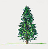 Illustration of Abies nordmanniana (Caucasian Fir) fir tree