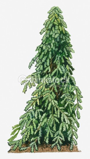Illustration Of Abrus Precatorius Perennial With Green Leaves Stock