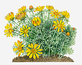 Illustration of Adonis vernalis (Yellow Pheasant's Eye) perennial with yellow flowers