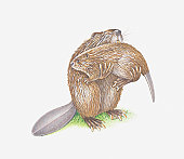 Illustration of adult beaver carrying young