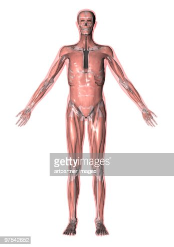 illustration of all muscles of the human body stock illustration, Muscles