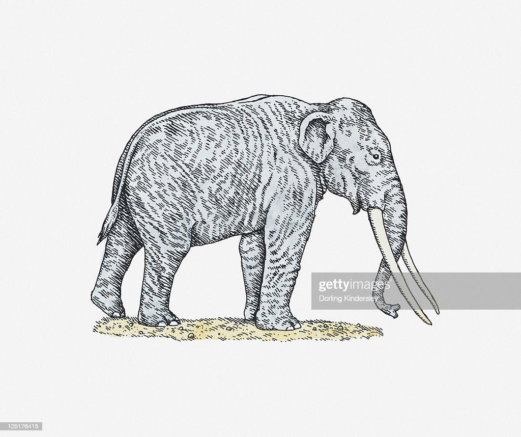 Illustration of an elephant : Stock Illustration
