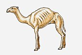 Illustration of an old, emaciated dromedary camel