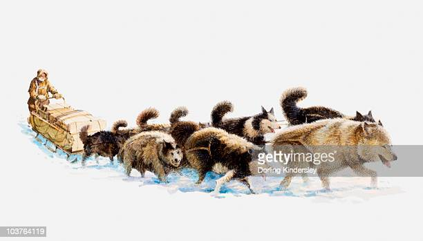 Sled Dog Stock Illustrations And Cartoons | Getty Images