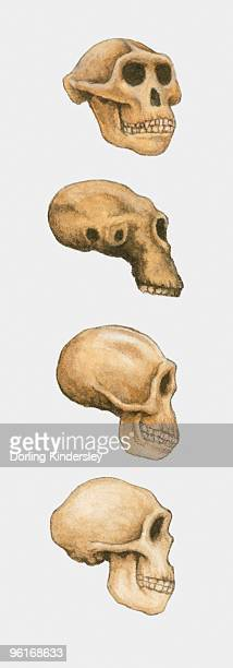 Illustration of Australopithecus, Homo habilis and Homo sapiens skulls