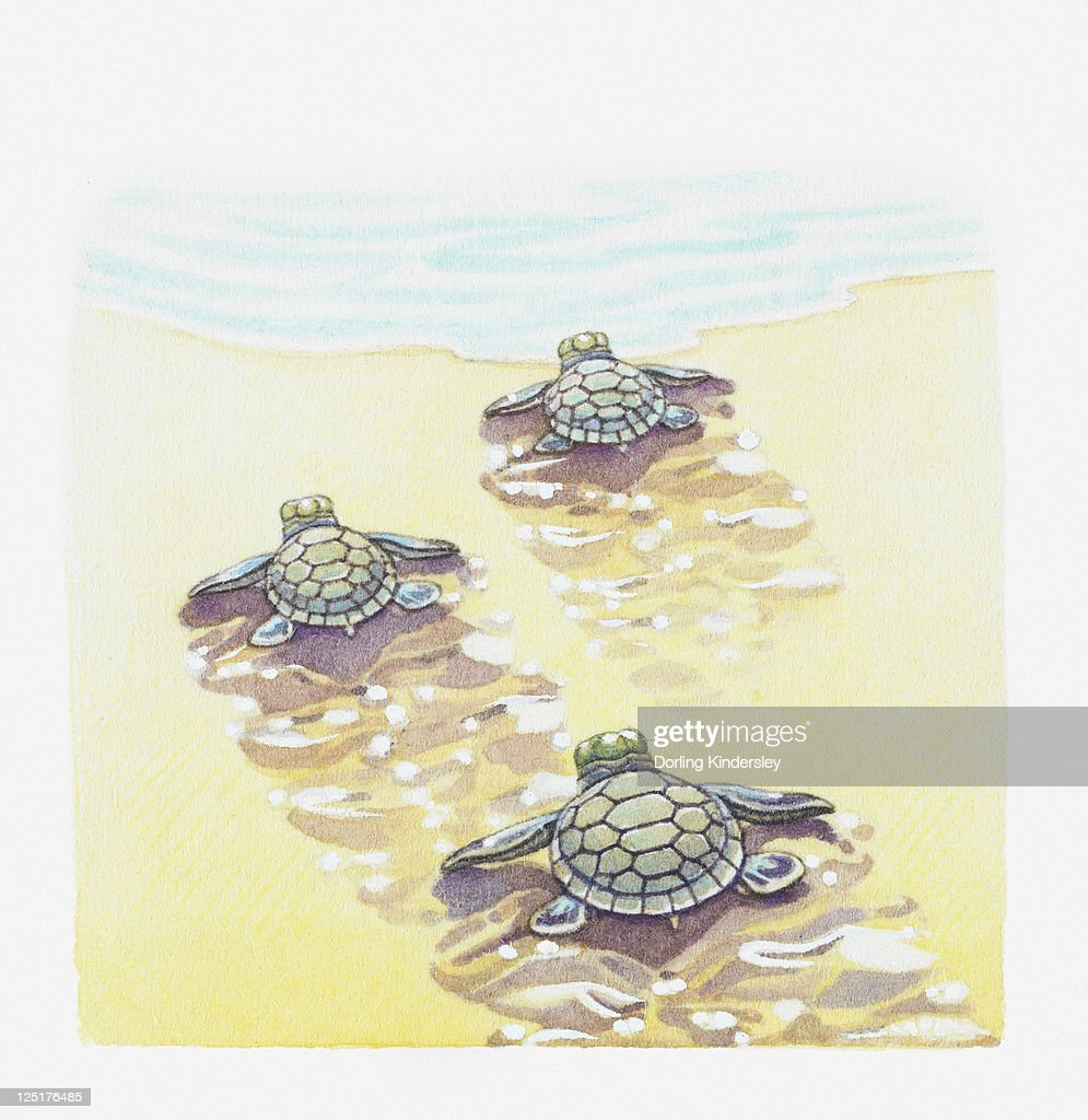 Illustration of baby sea turtles making their way to the water : Stock Illustration